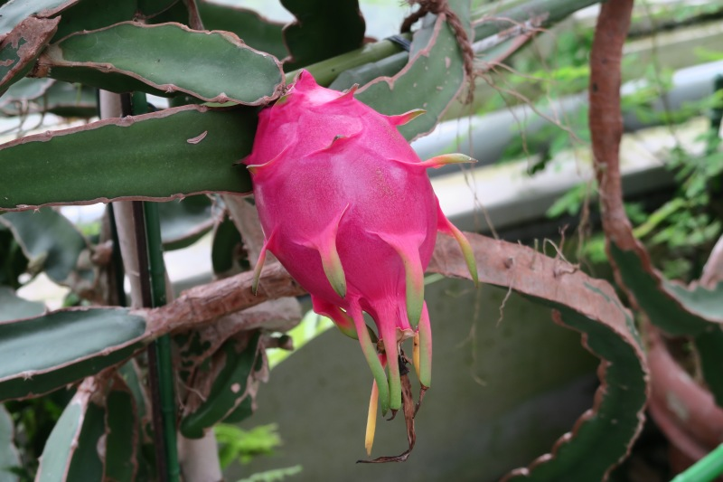 Dragon fruit on the plant!