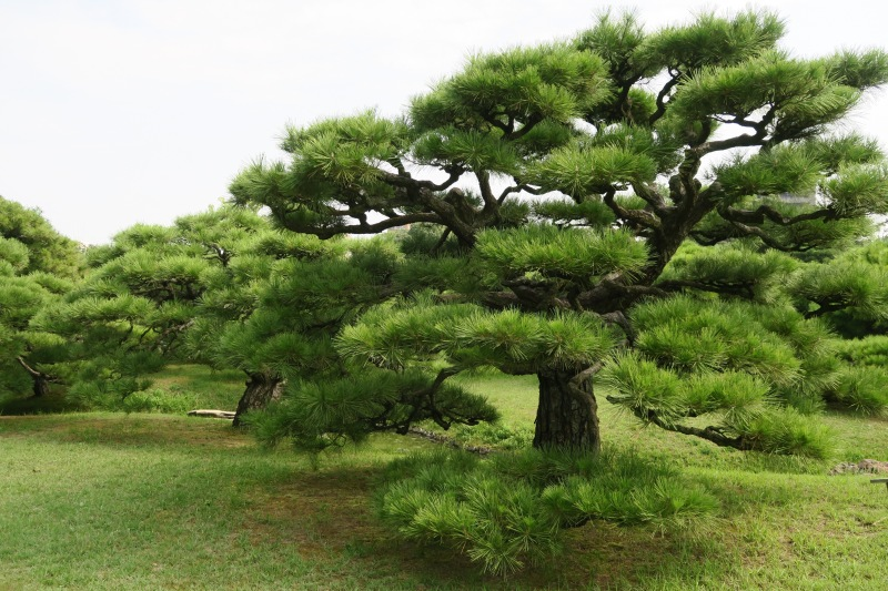 With careful attention and pruning each year, the trees develop beautiful shapes over time. This was an older tree at Ritsurin-koen, a garden in Takamatsu