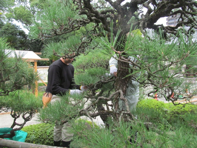 Pruning the pines in this method will result in twisted, interesting branches. When removing buds, you often remove ones that would allow the branch to grow straight.