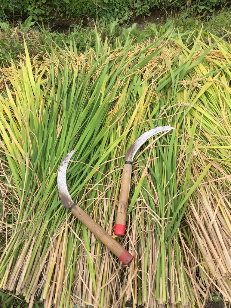 Freshly cut rice along with the tools used for cutting
