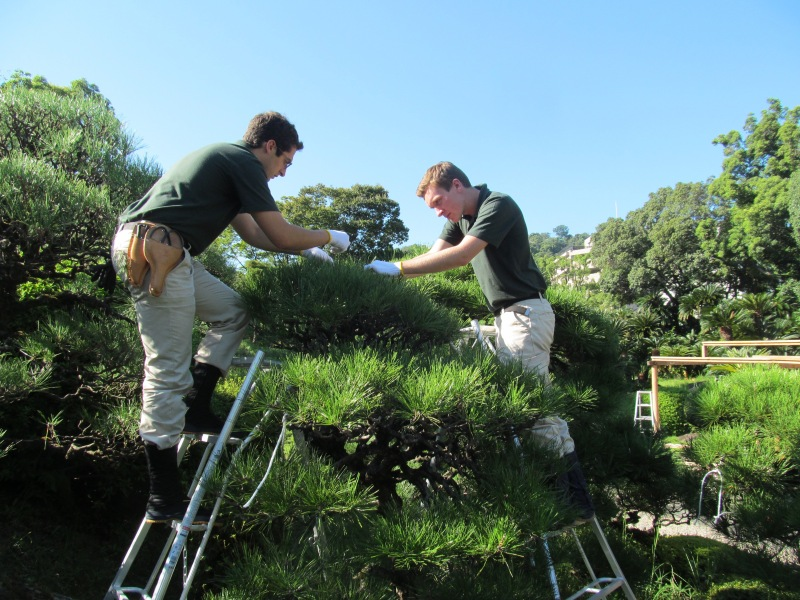 When pruning the pines, you start from the middle of the top and work your way down and out. This prevents you from damaging areas you've already worked on by reaching beyond them
