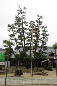 This enormous pine on Miyajima Island is cloud pruned by one brave soul with a 50 foot ladder.