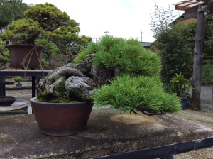 A black pine shaped into a semi-cascade, a habit found on rocky outcroppings and cliffs.