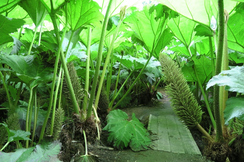 At Trebah, the trail wound through the whole garden, even straight under the Gunnera forest!