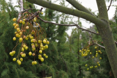 The vibrant berries of this Melia azedarach or Chinaberry, provide welcome winter interest on Awaji.