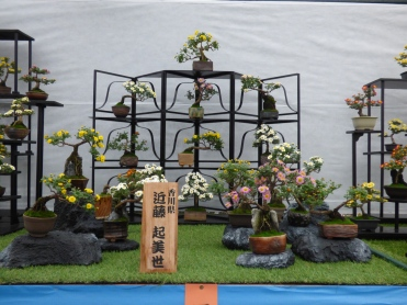 Amazing bonsai display, the shelving is a common way of displaying bonsai and it's pretty cool..