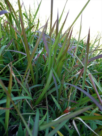 Imperata cylindrica - the dominant grass of this site and the natural version of the much-(over)used ornamental Imperata 'Rubra'