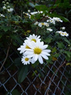 Chrysanthemum occidentalis-japonense is a common cliffside plant on Awaji