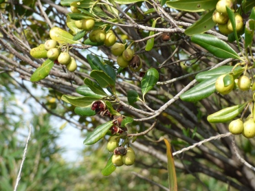 Pittosporum fruiting!
