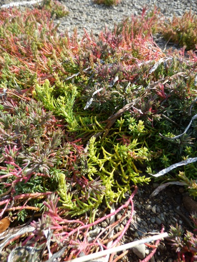 Salsola maritima - doesn't mind being covered by the sea at high tide, the first zone of salt marsh vegetation. It looked at lot like Sedum to me, and is apparently edible - it was salty, as you might expect